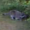 A Mirror Image Raccoon